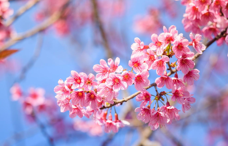 Photo wallpaper branches, spring, Sakura, flowering, pink, blossom, sakura, cherry, spring, bloom