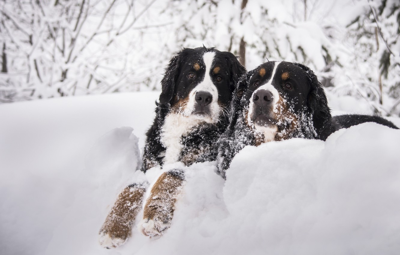 Photo wallpaper winter, dogs, snow, branches, two, dog, pair, the snow, muzzle, two dogs, Bernese mountain dog