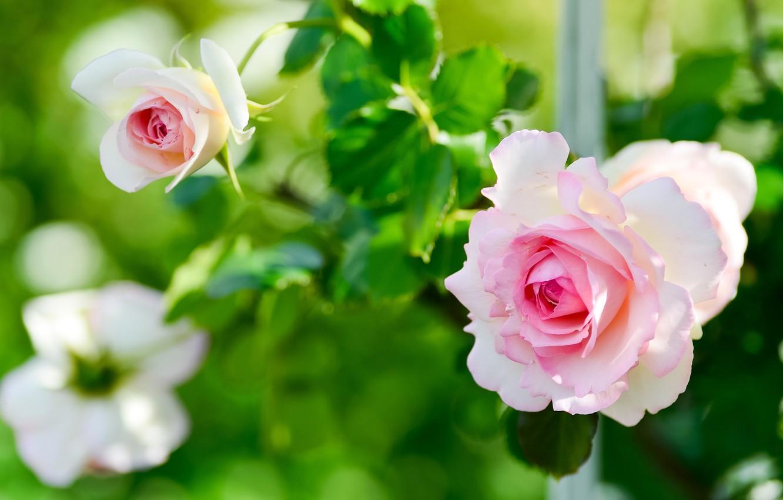 Photo wallpaper leaves, flowers, roses, garden, gentle, pink