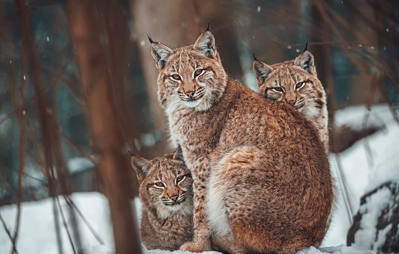 Photo wallpaper winter, forest, look, face, snow, trees, branches, nature, portrait, three, lynx, trio, snowfall, lynx, mom, …