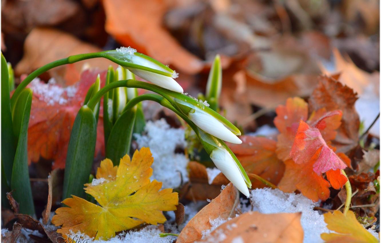 Photo wallpaper Snow, Foliage, Snow, Snowdrops, Leaves, Snowdrops