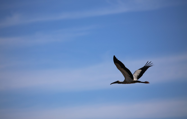 Photo wallpaper the sky, bird, stork, flight