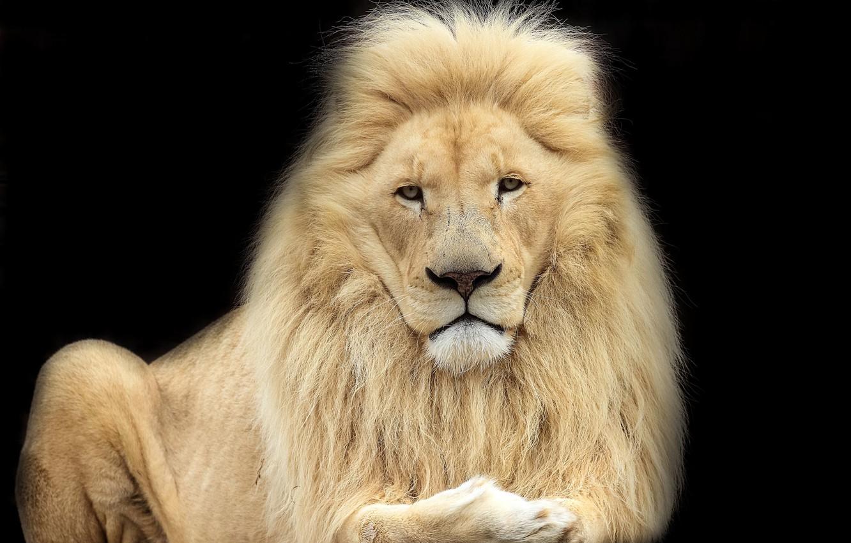 Photo wallpaper Leo, king, beast