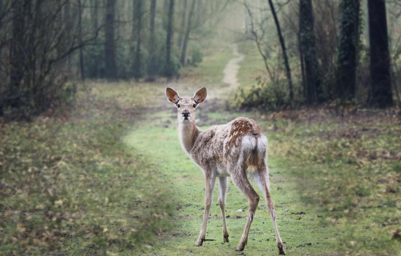 Photo wallpaper forest, background, deer