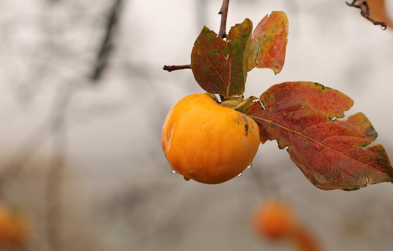 Photo wallpaper autumn, rain, branch, persimmon