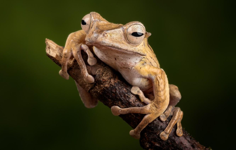 Photo wallpaper frog, branch, amphibians, kostopolous veslonogy
