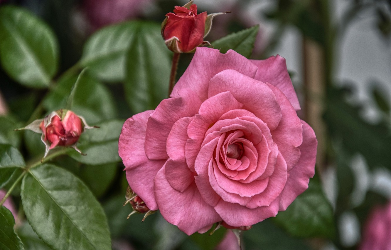 Photo wallpaper macro, rose, petals, buds, flowering