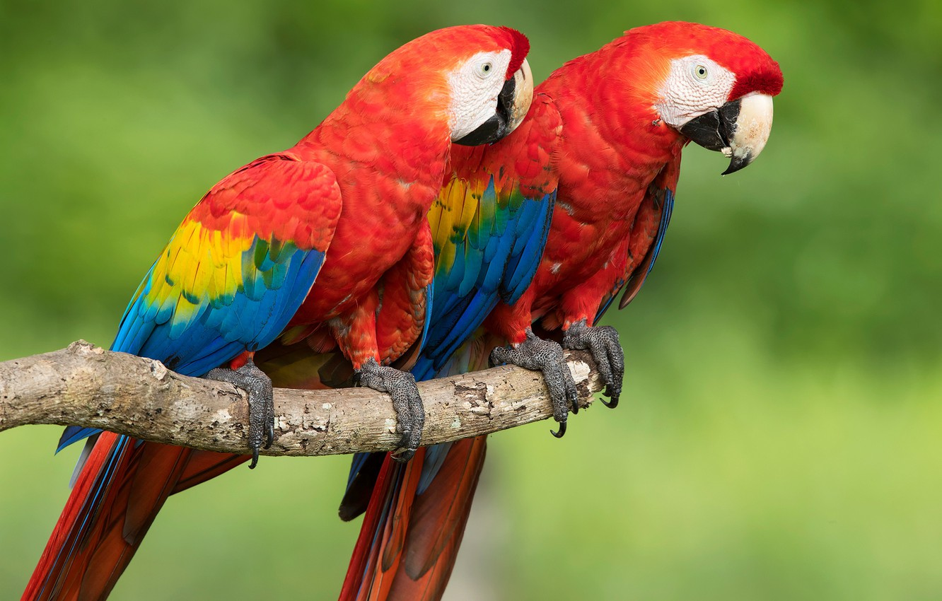 Photo wallpaper birds, background, parrots, a couple, bokeh, Red macaw