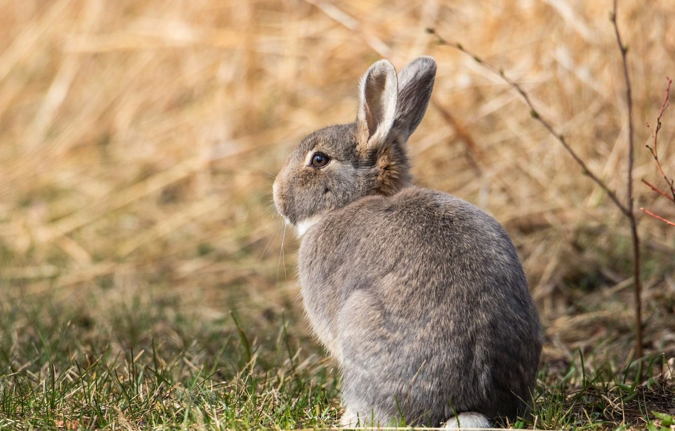 Photo wallpaper field, look, pose, grey, background, hare, baby, muzzle, sitting, Bunny, cub, wildlife, hare