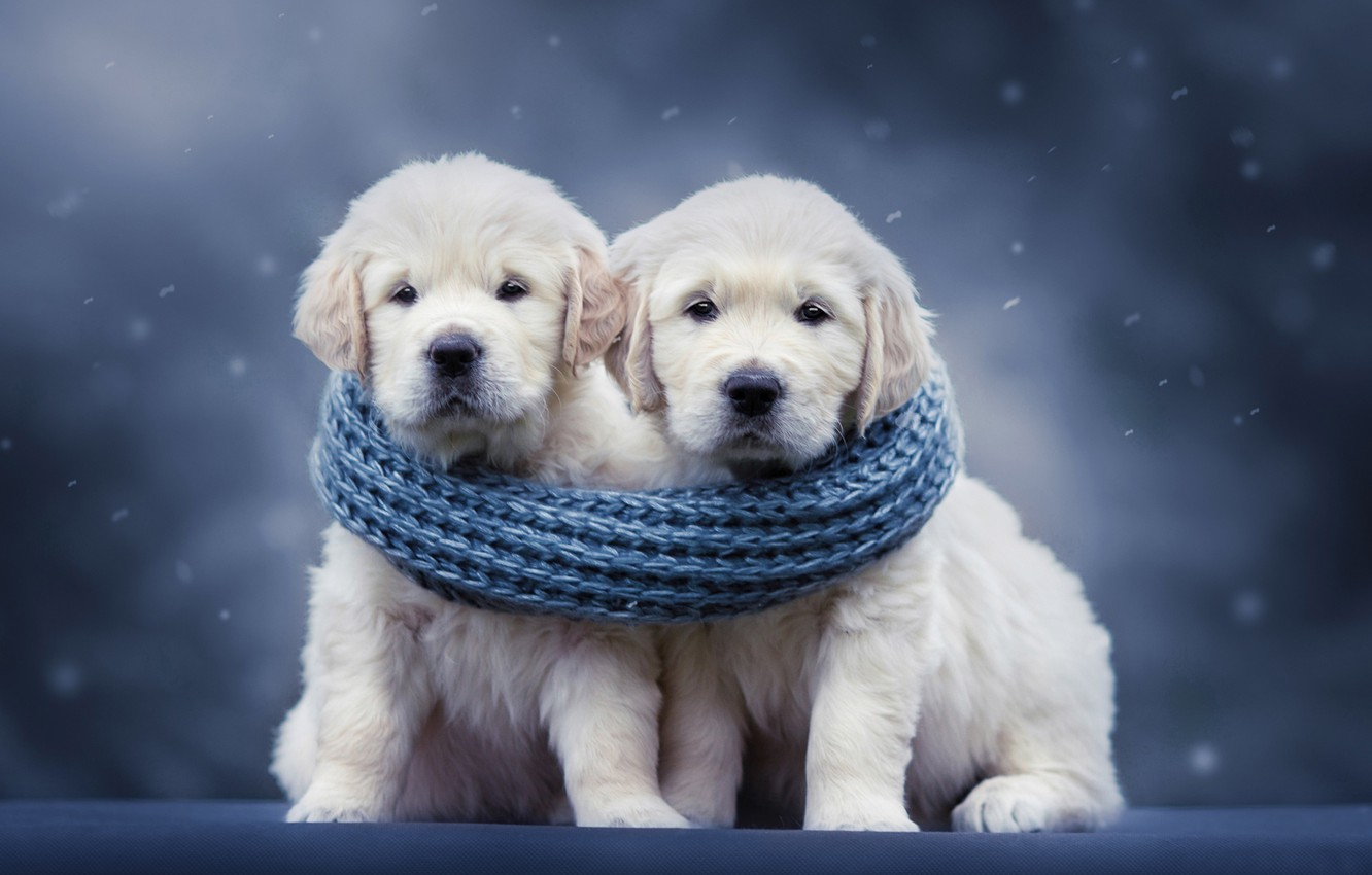 Photo wallpaper dogs, background, scarf, puppies, a couple, Golden Retriever, Golden Retriever, Natalia Lays