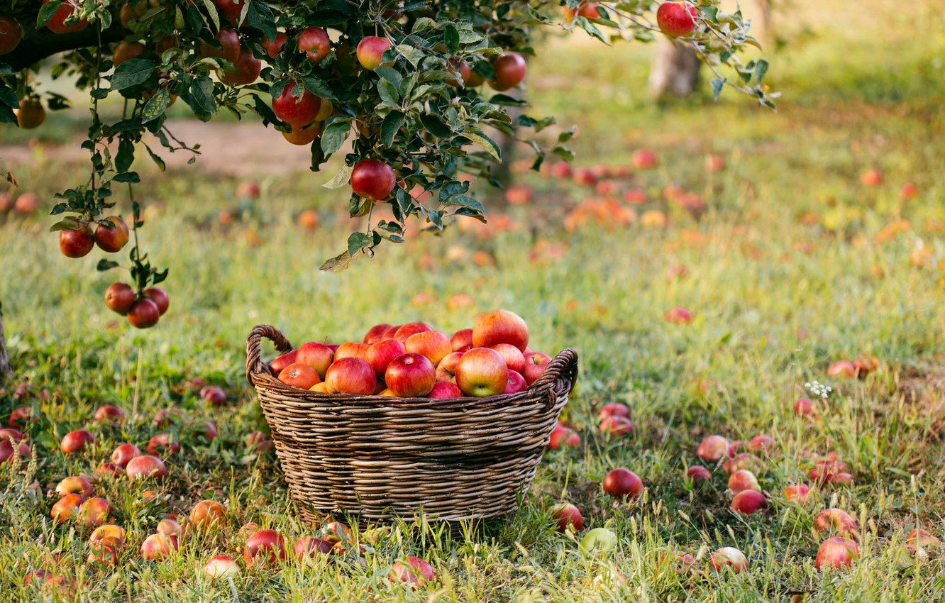 Photo wallpaper branches, photo, basket, apples
