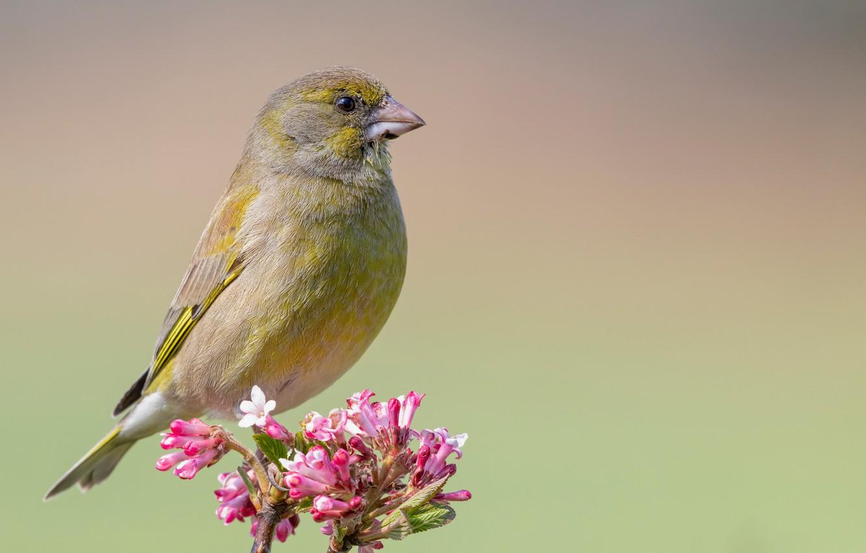 Photo wallpaper birds, branch, flowers, common zelenushka