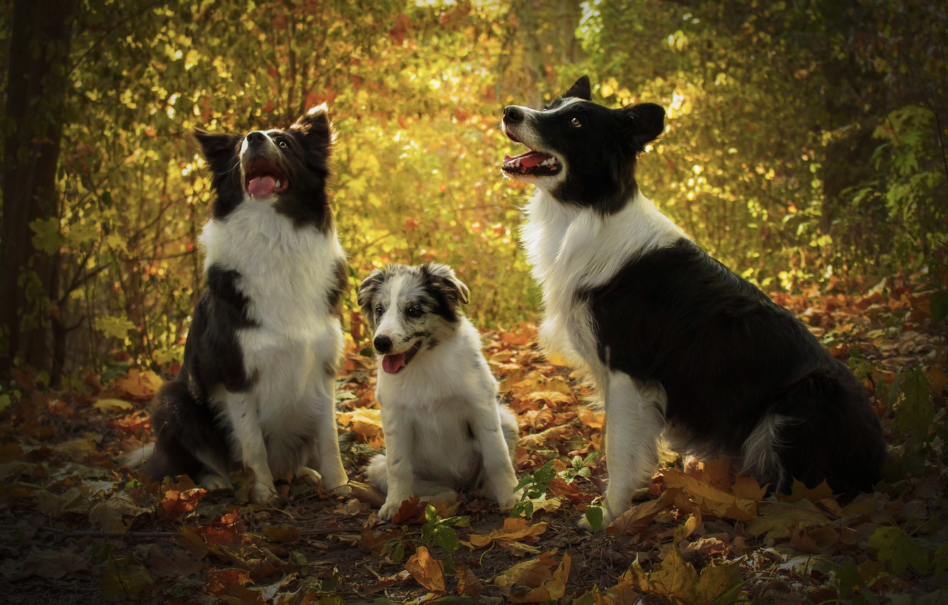 Photo wallpaper autumn, forest, language, dogs, look, leaves, light, branches, nature, foliage, baby, puppy, three, company, trio, …