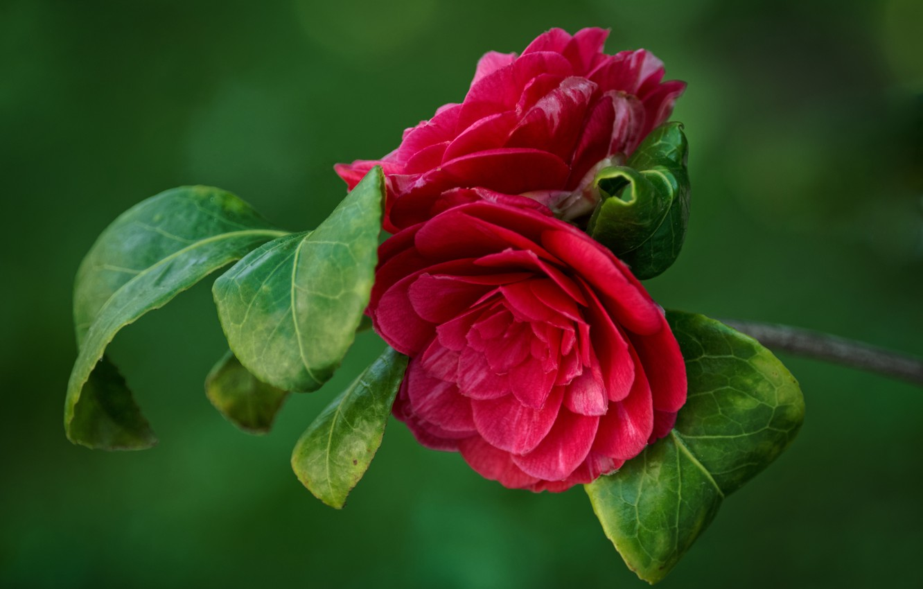 Photo wallpaper leaves, background, branch, Camellia