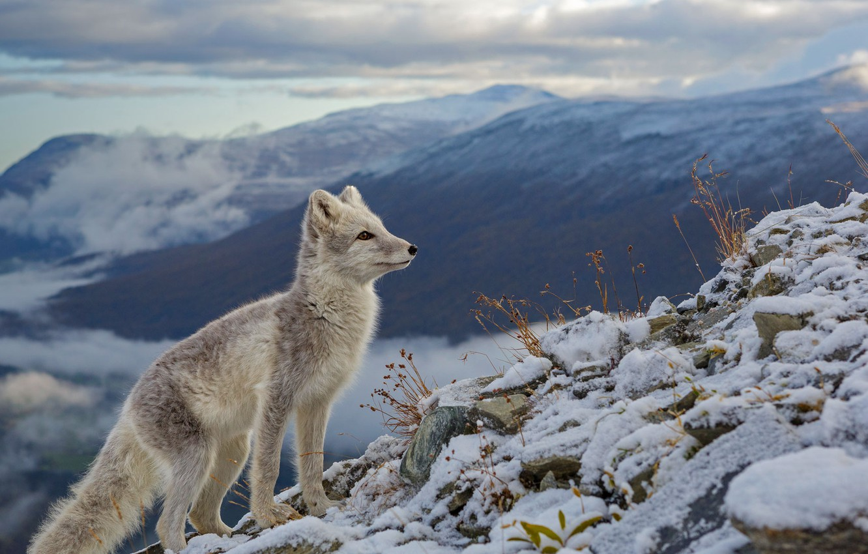 Photo wallpaper snow, Norway, Fox