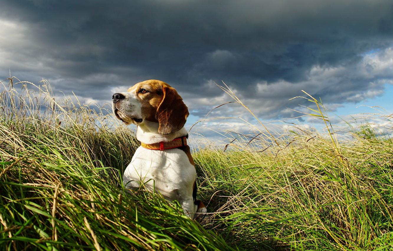 Photo wallpaper field, the sky, dog, Beagle