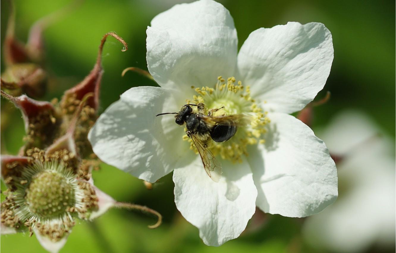 Photo wallpaper flower, bee, flower, bee
