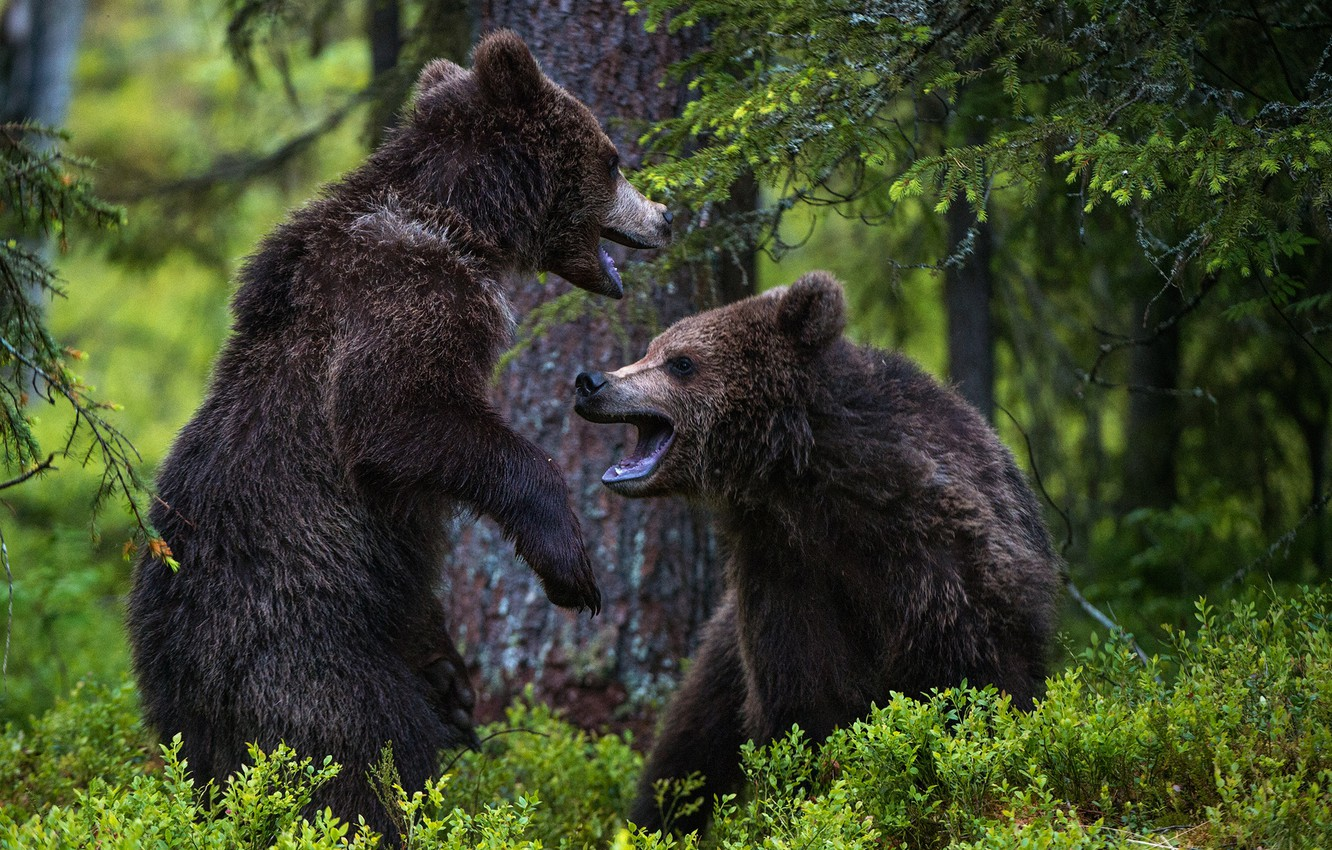 Photo wallpaper forest, bears, two bears