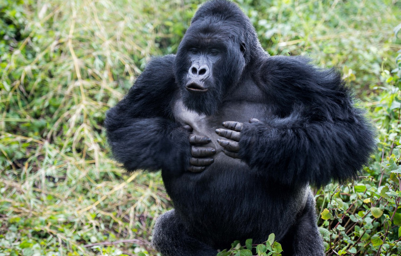 Photo wallpaper nature, gorilla, runs, facial expressions