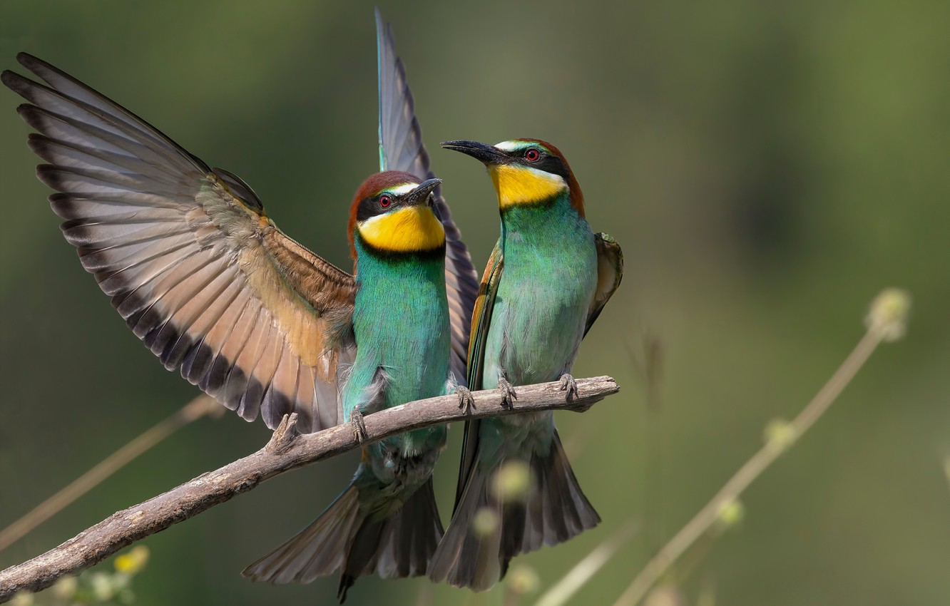 Photo wallpaper birds, branch, a couple, bee-eaters