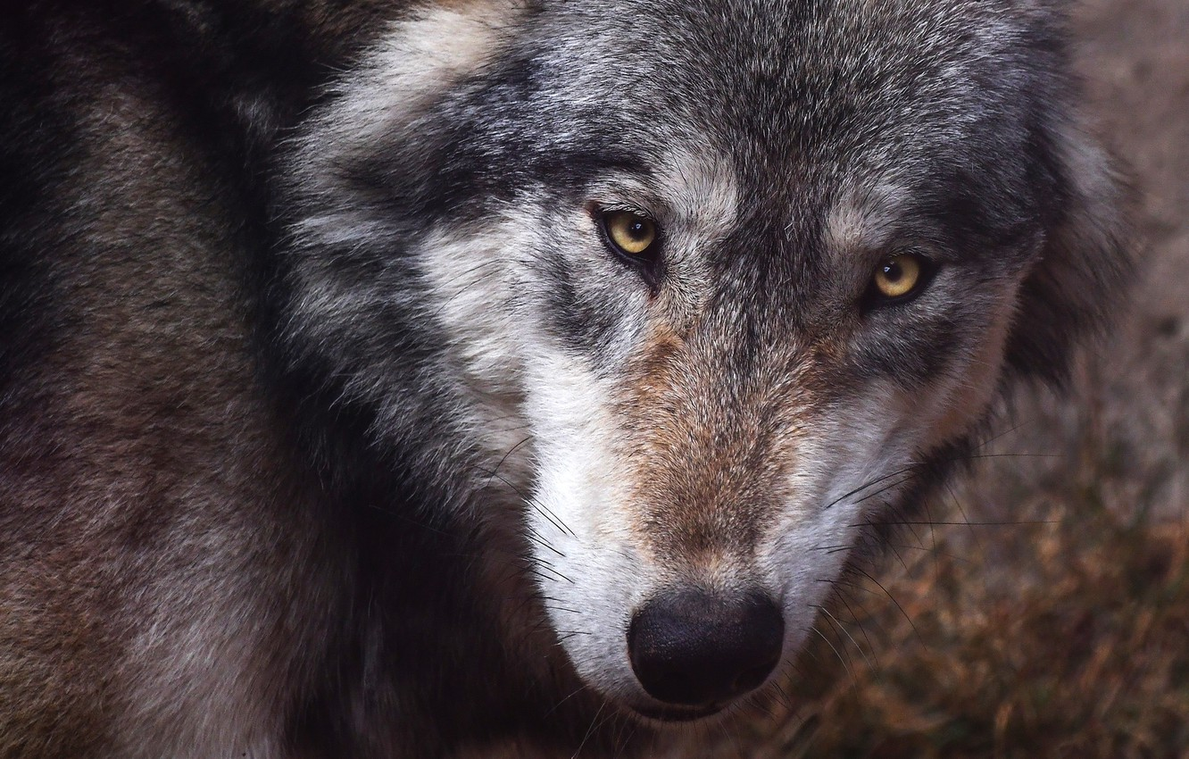 Photo wallpaper eyes, look, face, close-up, grey, background, wolf, portrait, predator, looks, sullenly