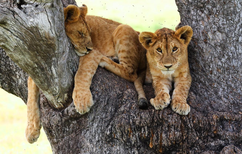 Photo wallpaper look, cats, pose, background, tree, stay, sleep, paws, sleeping, lies, trunk, bark, kids, wild cats, …