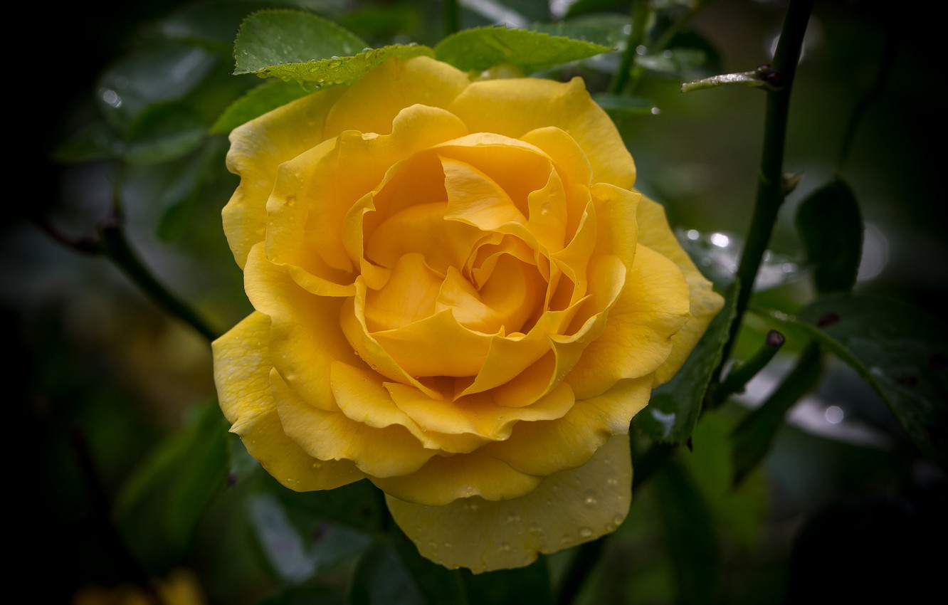 Photo wallpaper macro, rose, yellow