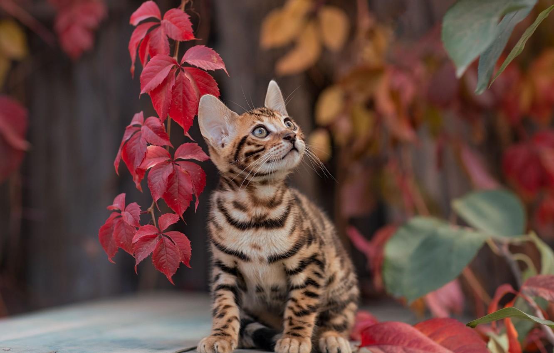 Photo wallpaper leaves, kitty, Yuriy Korotun