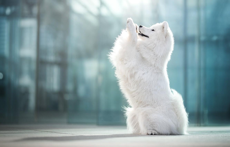 Photo wallpaper dog, bokeh, Samoyed