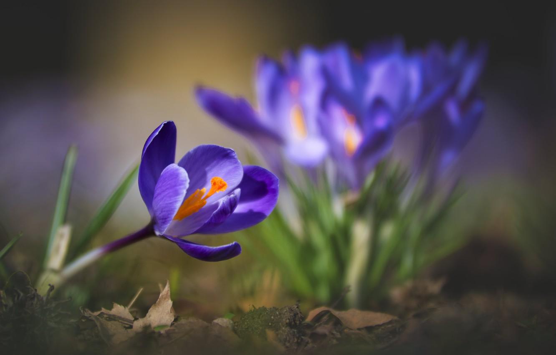 Photo wallpaper macro, nature, spring, crocuses, primroses