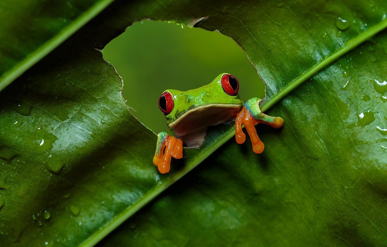 Wallpaper Look Green Leaf Frog Hole Hole Red Eyed Tree Frog Images For Desktop Section Zhivotnye Download