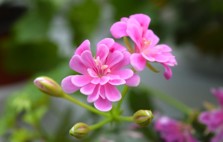 Photo wallpaper macro, widescreen, geranium, pink flower