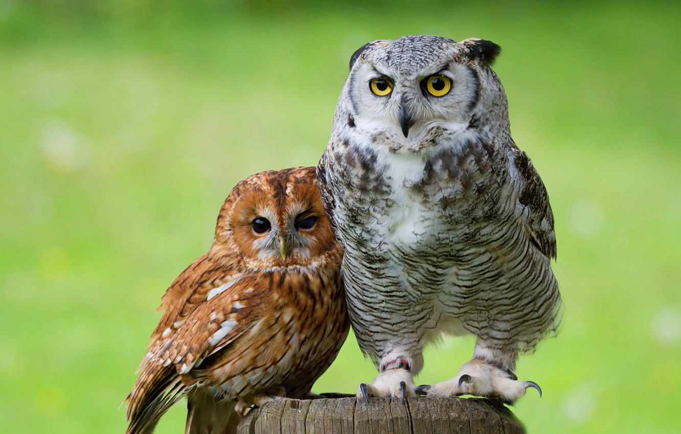 Photo wallpaper eyes, look, birds, green, background, owl, bird, together, two, stump, portrait, pair, owls, a couple, ...