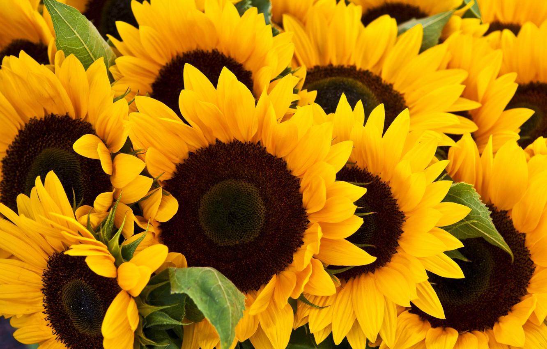 Photo wallpaper flower, photo, sunflower