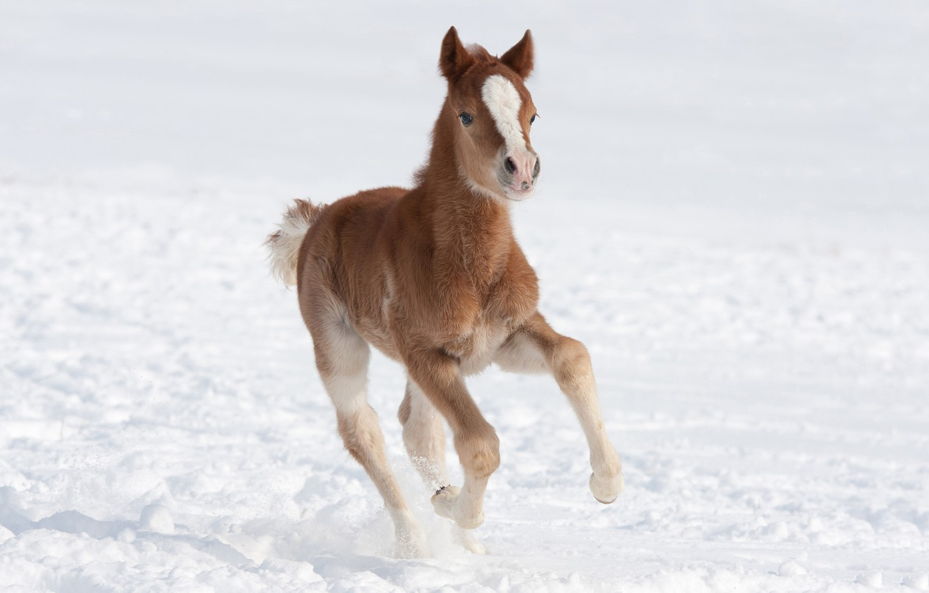Wallpaper Winter Field Snow Pose Horse Horse Baby
