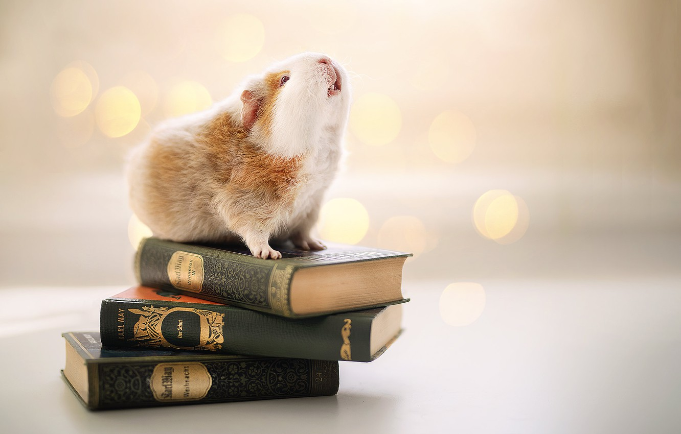 Photo wallpaper background, books, Guinea pig, rodent