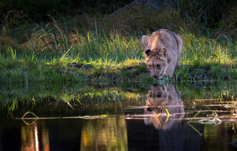 Photo wallpaper summer, grass, light, reflection, thirst, shore, Leo, drink, wild cat, lion, pond, lion, young, teen, …