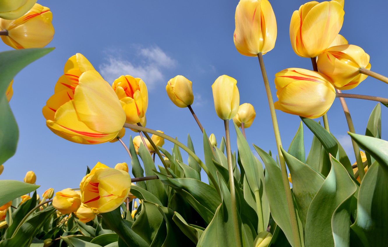 Photo wallpaper the sky, flowers, nature, tulips