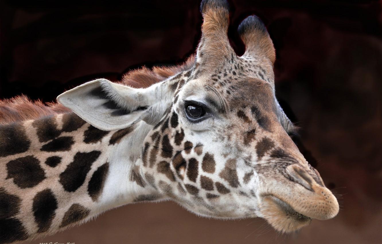 Photo wallpaper face, background, giraffe, bokeh