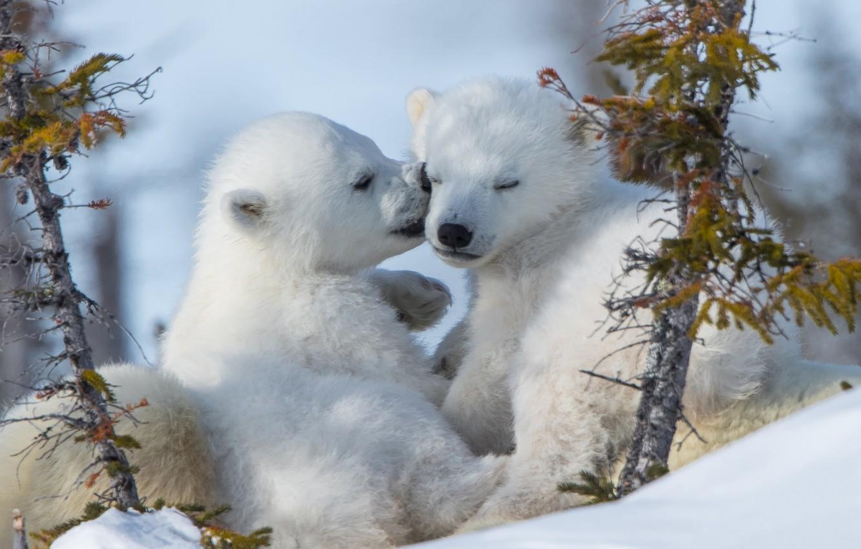 Photo wallpaper kiss, a couple, cubs, Polar bears, Polar bears, medvezhata