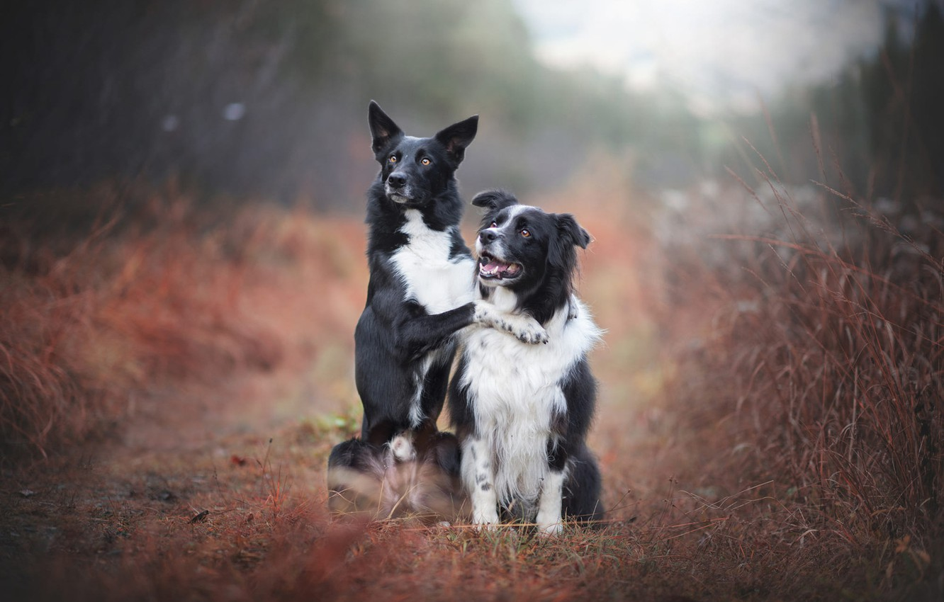 Photo wallpaper road, autumn, forest, dogs, grass, look, nature, pose, fog, two, paw, friendship, pair, a couple, …