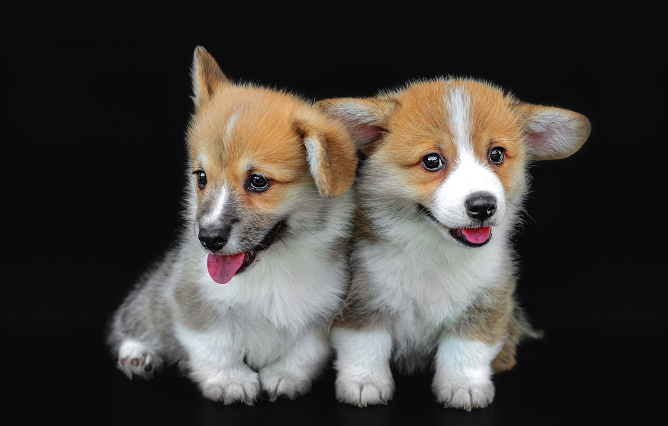 Photo wallpaper language, dogs, pose, dog, puppies, puppy, black background, a couple, two, two dogs, cute, faces, …