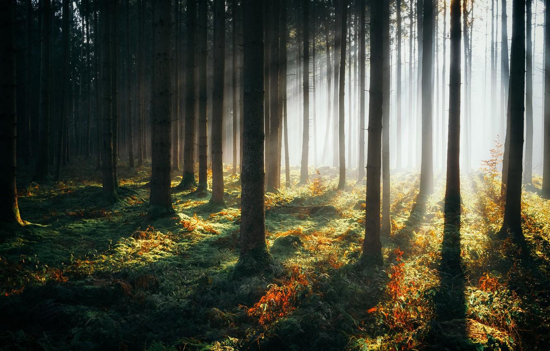 Photo wallpaper forest, trees, haze, sunlight