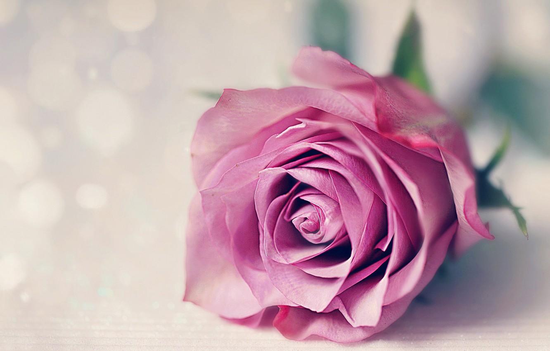 Photo wallpaper macro, rose, Bud