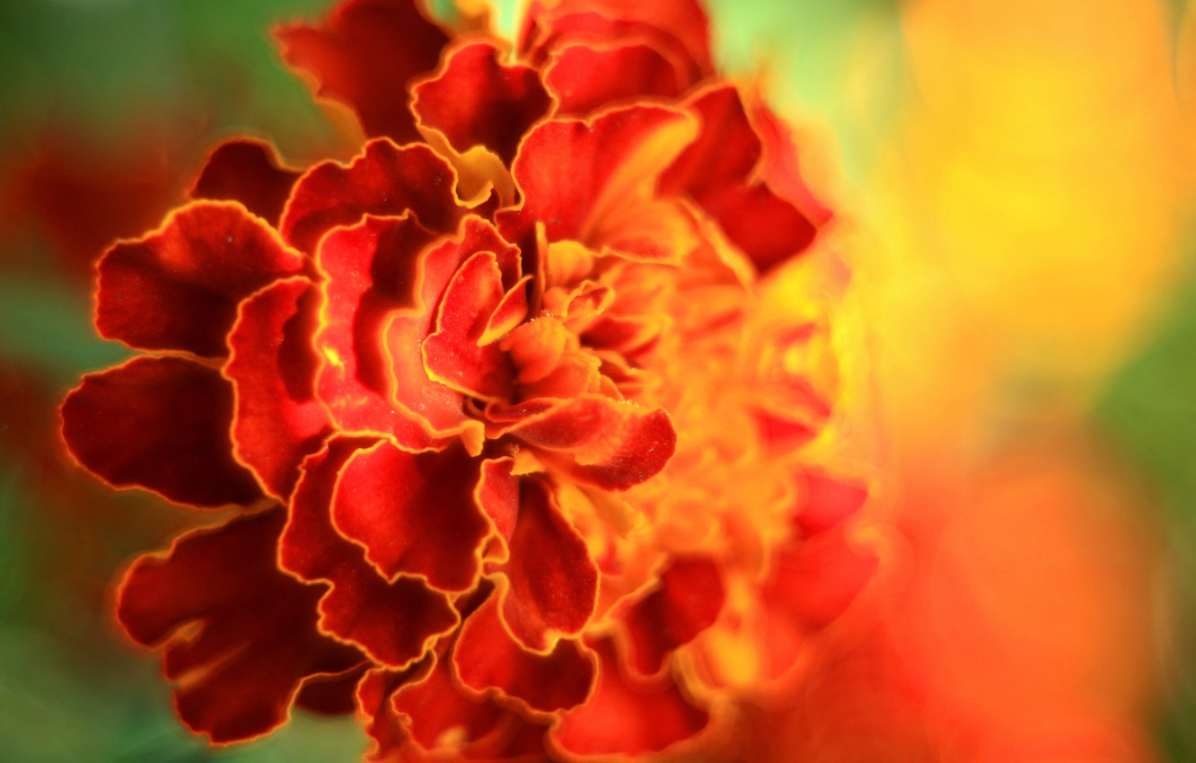 Photo wallpaper summer, bright colors, Sunny day, marigolds, photo colors