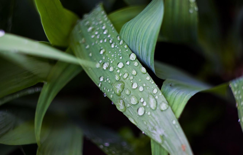 Photo wallpaper macro, nature, Rosa, dark, green, helios, rasteenie, гелиос44м