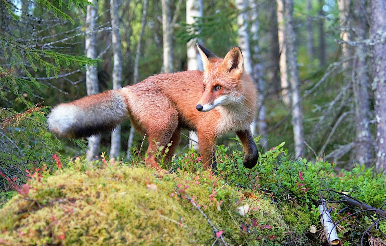 Photo wallpaper forest, moss, Fox, red