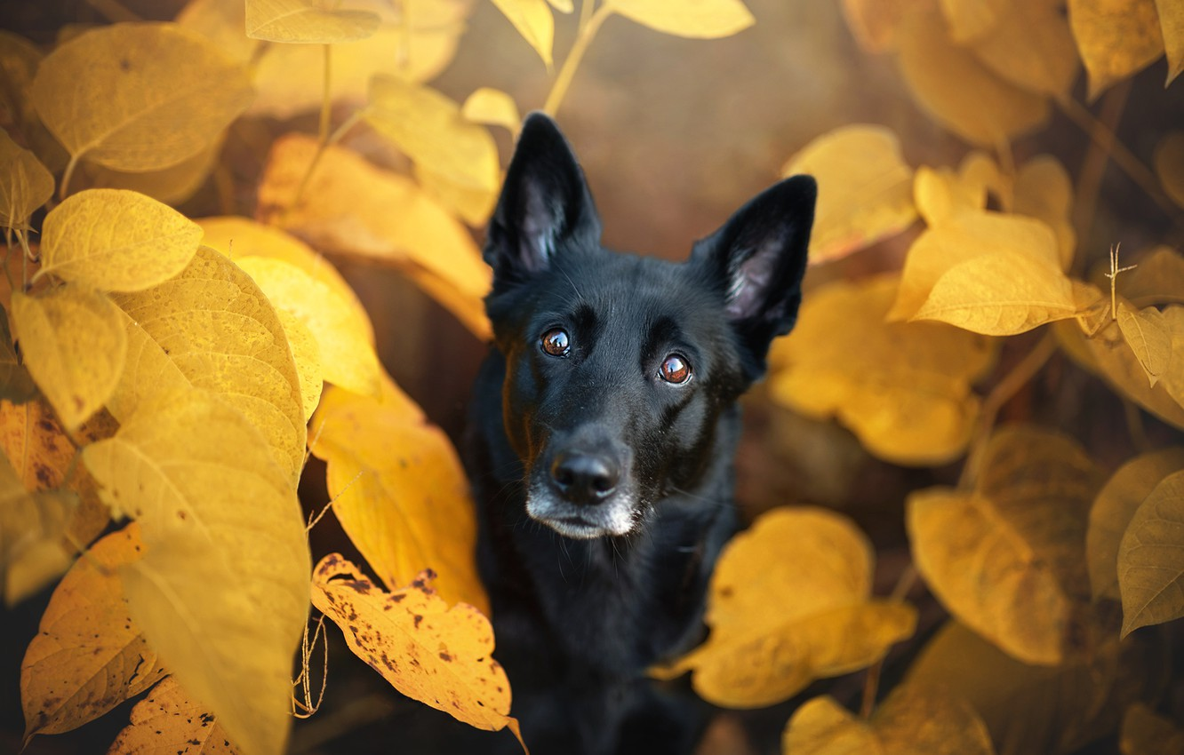 Photo wallpaper autumn, eyes, look, face, leaves, nature, foliage, portrait, dog, yellow, black, view, autumn
