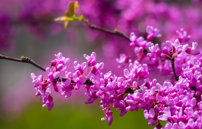 Photo wallpaper branches, flowering, flowers, Barannik canadian