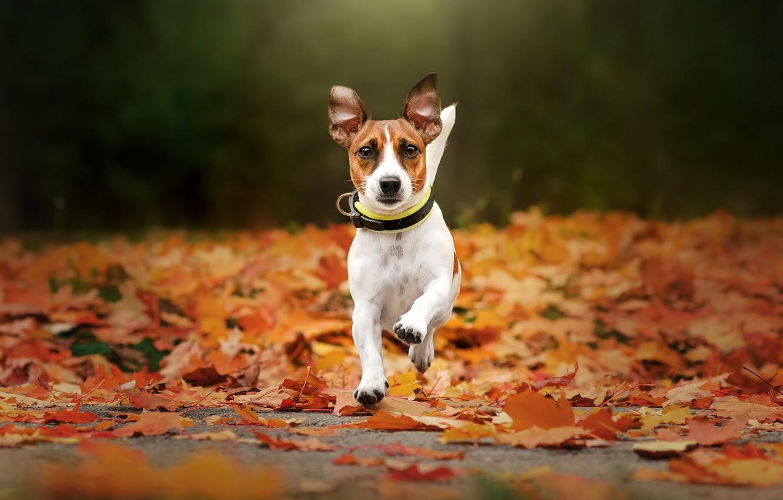 Photo wallpaper autumn, dog, walk, fallen leaves, Jack Russell Terrier, Ekaterina Kikot